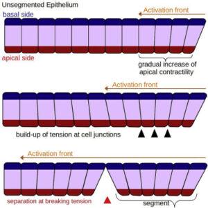 Model of early somite segregation